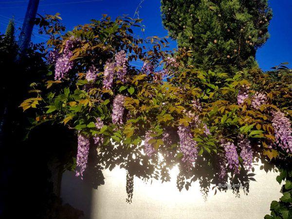 Blauregen hängt über eine Mauer