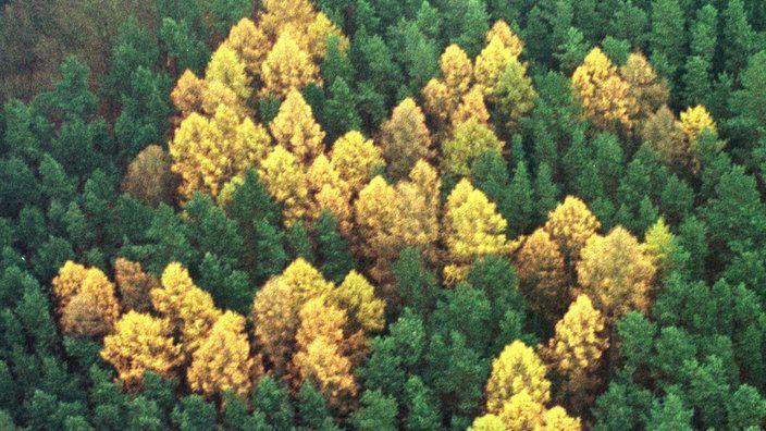 Braun gefrbte Bume formen ein Hakenkreuz in einem Wald