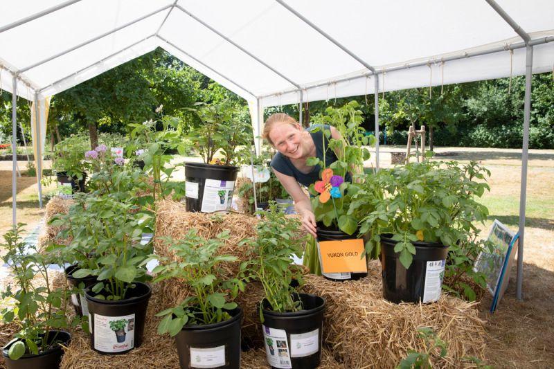 Kartoffel-Vielfalt Svenja Jessen Wissenschaftliche Mitarbeiterin des Grundschulverbandes eV bereitet eine Ausstellung mit Kartoffelpflanzen vor die von Schlern und Schlerinnen in den Schulen gepflanzt wurden