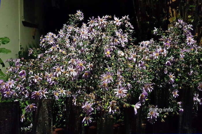 Garten im Oktober 2020 - Astern bei Nacht und Regen