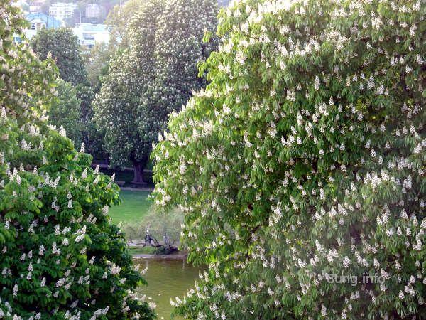 Bild des Tages: prachtvolle Kastanienblüte