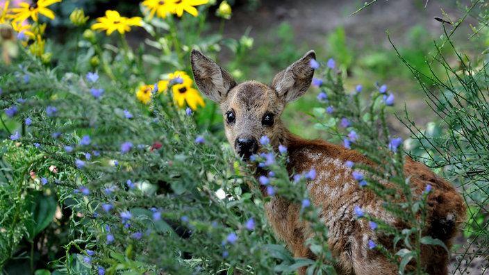 Ein Rehkitz steht zwischen bunten Blumen